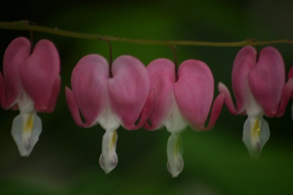 My garden's bleeding hearts.