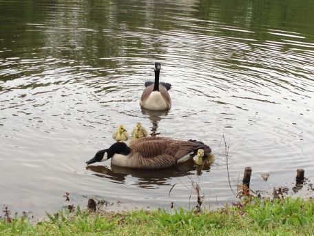 see daddy goose getting all fresh with my camera? he's all hiss / sip / hiss / sip...