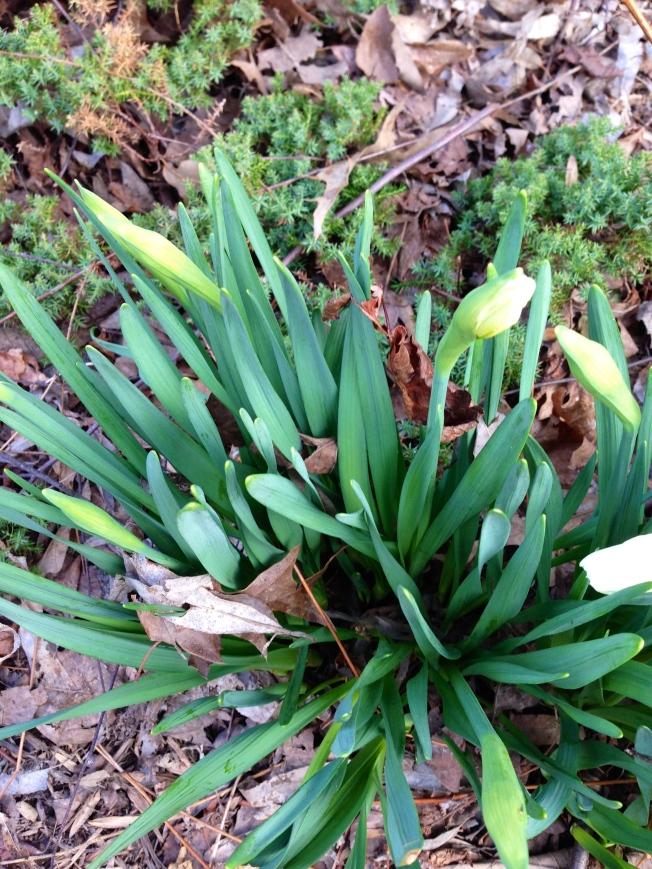 daffodils, tulips, bulbs -- of all variety, forcing their way  through dead oak leaves: spearing a hole in the leave and pushing through anyway. if they can do this year after year after year ... after sleeping for months, what's to stop us from making our way too? channel your inner daffodil: LIVE!